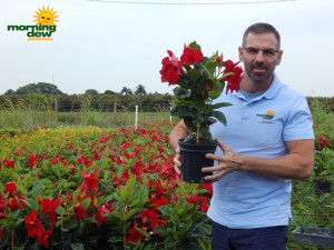 Flowering Mandevilla Red Emperor 6 in