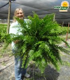 Hanging Basket Fern Macho