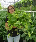 HB Pothos Golden 8 in