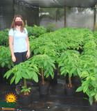 Pachira Fortune Tree Braid 10 in
