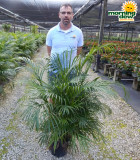 Palm Areca 10 in