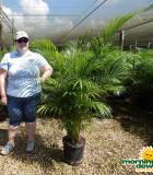 Palm Areca 12 in