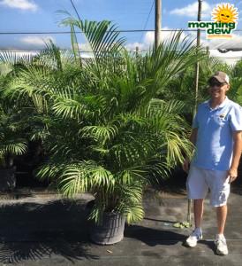 Palm Areca 17 in