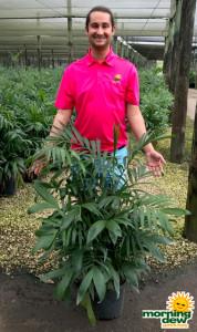 Palm Chamaedorea FL Hybrid 10 in