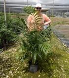 Palm Chamaedorea Hooperiana King Maya