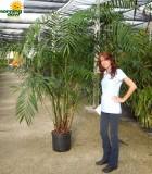 Palm Chamaedorea Hooperiana 17 in