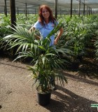 Palm Kentia California 10 in