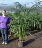 Palm Kentia California 12 in
