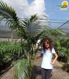 Palm Kentia California 14 in