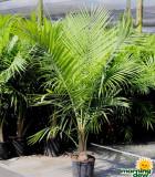 Palm Majesty 10 in