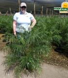 Palm Phoenix Roebelenii 10 in