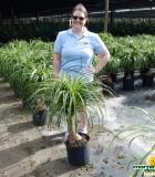 Palm Ponytail Guatemalan 12 in