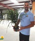 Palm Ponytail Guatemalan 6 in