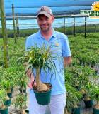 Palm Ponytail Guatemalan 8 in