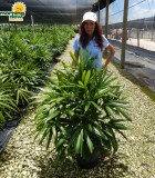 Palm Rhapis Excelsa 12 in