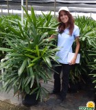 Palm Rhapis Excelsa 14 in