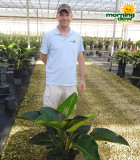 Philodendron Congo 10 in