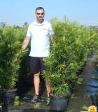 Podocarpus Maki 14 in