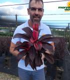 Dracaena Cordyline Ruby 6 in
