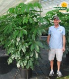 Schefflera Amate 17 in
