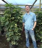 Schefflera Arboricola Bush Gold Capella umbrella plant