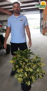 Schefflera Arboricola Bush Trinette 10 in
