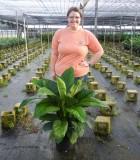 Spathiphyllum Sensation Peace Lily