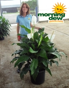 Spathiphyllum Sweet Pablo Peace Lily