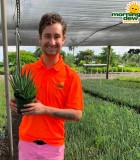Succulents Aloe Hedgehog 6 in