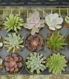 Succulents Echeveria Assorted