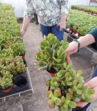 Succulents Jade Plant 4 in