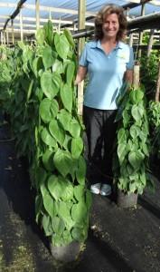 Totem Philodendron Cordatum