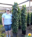 Totem Philodendron Cordatum 14 in