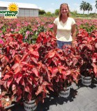 acalypha copper leaf bush