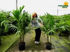 adonidia palm multi