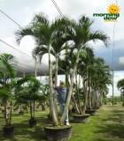 adonidia multi palm