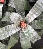 aechmea griffe bromeliad