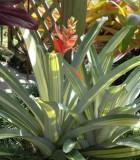 bromeliad aechmea loies pride
