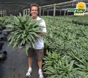 aglaonema bryant queen chinese evergreen