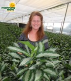 aglaonema diamond bay chinese evergreen