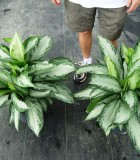 aglaonema emerald bay & silver bay chinese evergreen