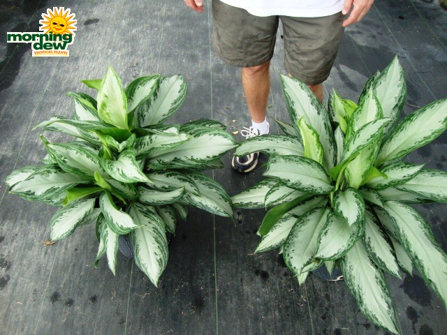Aglaonema Emerald Bay Silver Chinese Evergreen
