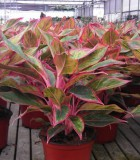 aglaonema firecracker chinese evergreen