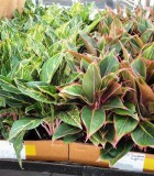 aglaonema jazzed gem hybrids chinese evergreen