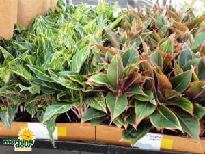 aglaonema jazzed gem hybrids chinese evergreen
