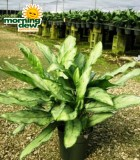 aglaonema jewel of india chinese evergreen