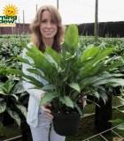 aglaonema jewel of india chinese evergreen