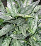 aglaonema painted princess chinese evergreen