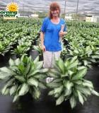 aglaonema silver bay chinese evergreen