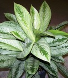 aglaonema silver frost chinese evergreen